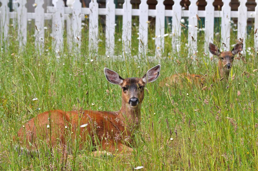 Windmere-Orcas-Island-deer